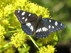 Limenitis reducta07.jpg