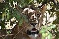 Lion, Ruaha National Park (6) (29027546285).jpg
