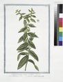 Lithospermum majus, erectum - Milium Solis - Gremil, ou Herbe aux perles. (Puccoon) (NYPL b14444147-1125059).tiff
