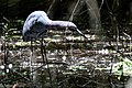 Little Blue Heron Boy Scout Woods TX 2018-04-16 12-51-53 (28076296238).jpg