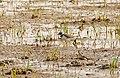 Little Ringed Plover (Charadrius dubius) (25937671200).jpg