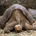 Lonesome George -Pinta giant tortoise -Santa Cruz cropped.jpg