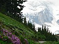 Looking up at Nisqually and part of Wilson glaciers from Alta Vista trail. Avalanche lilies in bloom. Possibly pink heather too. (8a7c142dbf8c4fb38836d085650f0ac7).JPG