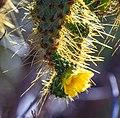 Lots of cactus plants, this one flowering (16057566284).jpg