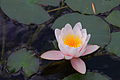 Lotus, jardins du muséum de Toulouse.JPG