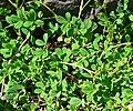 Lotus formosissima 1.jpg