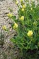 Lotus maritimus kz08.jpg