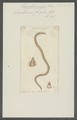 Lumbricus fragilis - - Print - Iconographia Zoologica - Special Collections University of Amsterdam - UBAINV0274 102 04 0014.tif