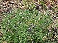 Lupinus albifrons 1.jpg