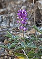 Lupinus cervinus (Santa Lucia lupine) (14154905269).jpg
