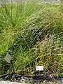 Luzula luzuloides - Botanical Garden, University of Frankfurt - DSC02721.JPG