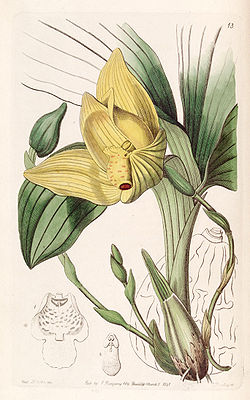 Lycaste cruenta (as Maxillaria cruenta) - Edwards vol 28 (NS 5) pl 13 (1842).jpg
