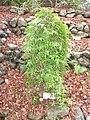 Lygodium japonicum in Koishikawa gardens.jpg