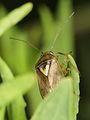 Lygus pratensis (Heteropütera- Miridae) (9064698497).jpg