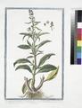 Lysimachia Orientalis, minor foliis gaucis, annuentibus, flore purpureo - Corneille. (Loosestrife) (NYPL b14444147-1125073).tiff