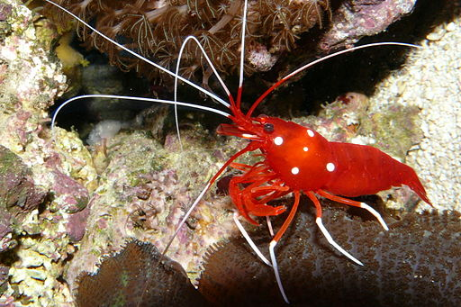 Blood Red Fire Shrimp Lysmata Debelius