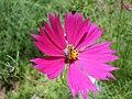 Méh és virág4.JPG