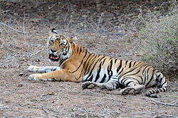 Machli (tigress).jpg