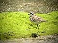 Madagascar Plover. Charadrius Thoracicus (4346714070).jpg
