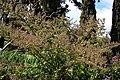 Madeira, Palheiro Gardens - Moschosma riparium (Simbabwe) IMG 2275.JPG