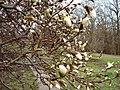 Magnolia garden kiev.jpg