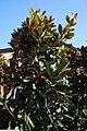 Magnolia grandiflora Edith Bogue 3zz.jpg