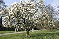 Magnolia soulangeana Grandmont.jpg