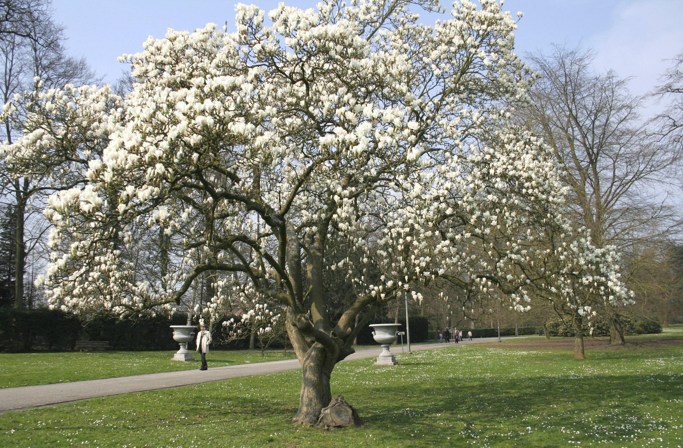 Magnolia Kompletna Informacja I Sprzedaż Online Z Bezpłatną