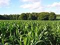 Maize, Slindon - geograph.org.uk - 887735.jpg