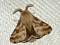 Malacosoma castrense ♂ - Ground lackey (male) - Молочайный коконопряд (самец) (27133448748).jpg