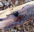 Male. Philaeus chrysops - Flickr - gailhampshire.jpg