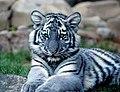 Maltese-Tiger.jpg