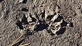 Mammal Tracks - Kitchener, Ontario 02.jpg