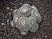 Mammillaria parkinsonii (70369).jpg