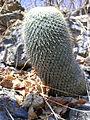 Mammillaria supertexta (5758482329).jpg