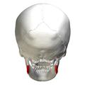 Mandibular angle - posterior view.png