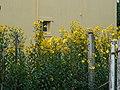 Margaritas amarillas - panoramio.jpg