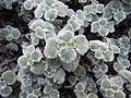Marrubium supinum - Sierra Nevada - Espagne.JPG