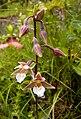 Marsh Helleborine - Epipactis palustris.jpg