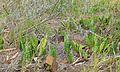 Mason's Congo Sansevieria masoniana (8392091669).jpg