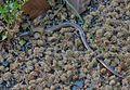 Massive German Snake (27788850455).jpg