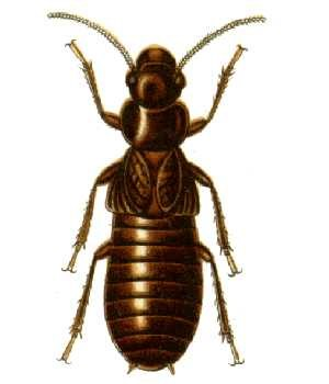 Termite - The external appearance of the giant northern termite Mastotermes darwiniensis is suggestive of the close relationship between termites and cockroaches.