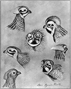 Montezuma quail - Illustration of crest by Louis Agassiz Fuertes
