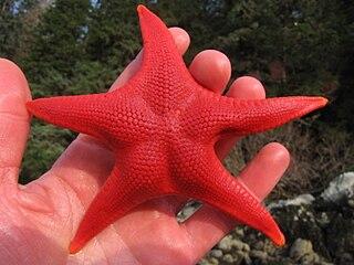 <i>Mediaster aequalis</i> Species of starfish