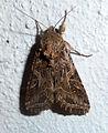 Mediterranean Brocade. Spodoptera littoralis (5257601436).jpg
