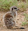 Meerkat (Suricata suricatta) (32993685706).jpg