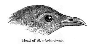 Nicobar megapode - Illustration of the head
