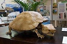 Vista di una replica della tartaruga cornuta estinta al centro del museo