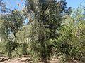 Melaleuca shiressii habit.jpg