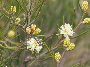 Melaleuca uncinata - M. uncinata flowers